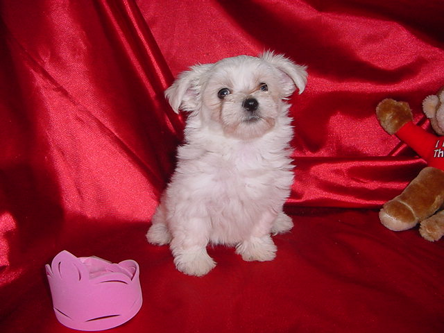 Buttons. AKC Female Maltese.  SOLD