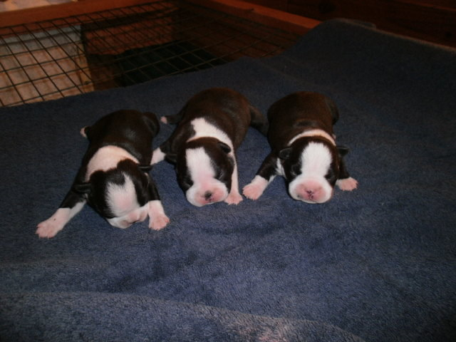 Three Little Girls. These puppies are no longer available.